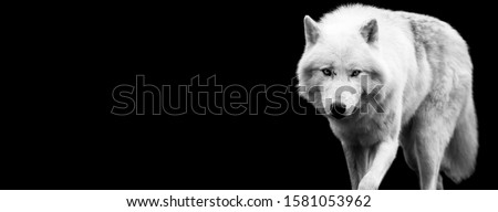 White wolf with a black background Сток-фото ©