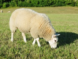 White Woolly Sheep Grazing in a Green Field