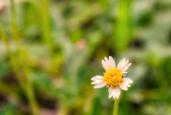 White yellow flower in the philppines