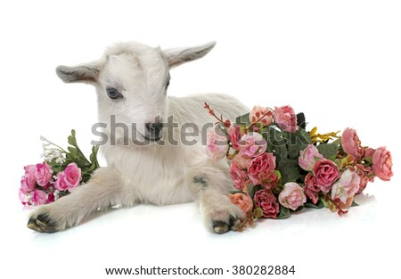white young goat in front of white background stock photo