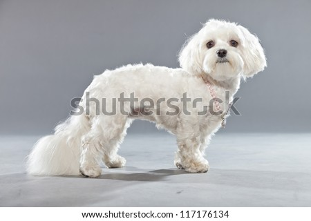 White young maltese dog with pink necklace. Studio shot. Grey background.