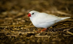 White Zebra Finch among twigs (Taeniopygia guttata)