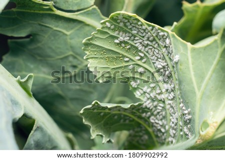 Whitefly Aleyrodes proletella agricultural pest on cabbage leaf. Foto stock ©