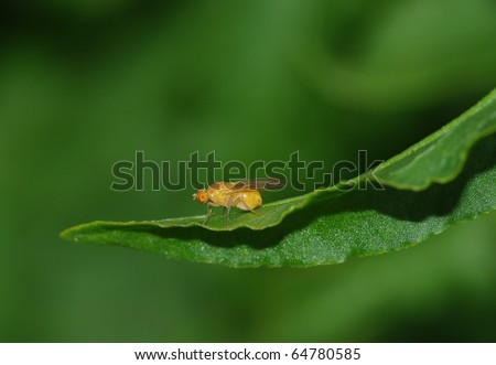 whitefly fly - stock photo