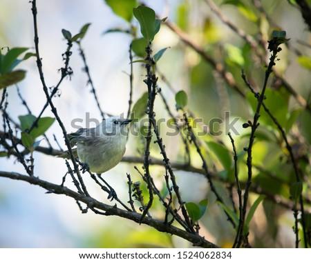 Whitehead bird, Maori name popokotea, perched on tree branches at Tiritiri Matangi Island