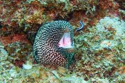 Whitemouth moray, Mauritius, Indian ocean - Gymnothorax meleagris