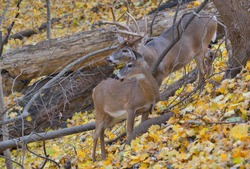 Whitetail buck and doe during the rut