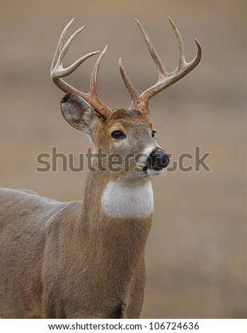 Whitetail Buck Deer, bust shot / portrait, quartering toward camera