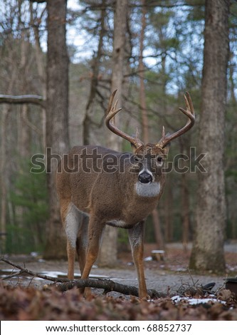 Whitetail Buck Deer in mixed coniferous / deciduous forest, Great Smoky Mountains National Park, Tennessee / North Carolina;  white tail / white-tailed / white-tail / white tailed / whitetailed