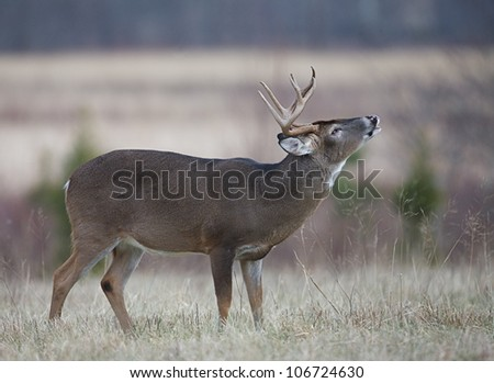 Whitetail Buck Deer performing lip curl, Great Smoky Mountains National Park