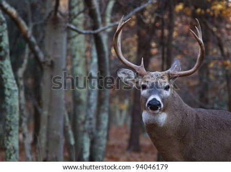 Whitetail Buck Deer, Portrait with Woodland Background
