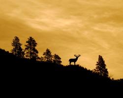 Whitetail Buck Deer silhouette on ridge top with Ponderosa Pine trees