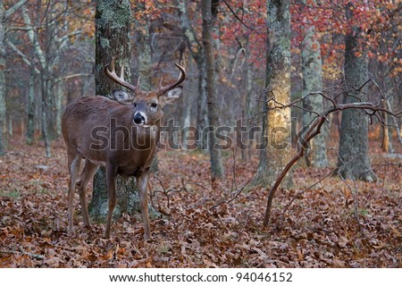 Whitetail Buck Deer Standing in Woodland Habitat - stock photo