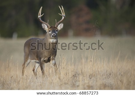 Whitetail Buck Deer, walking through field in the Appalachian Mountains