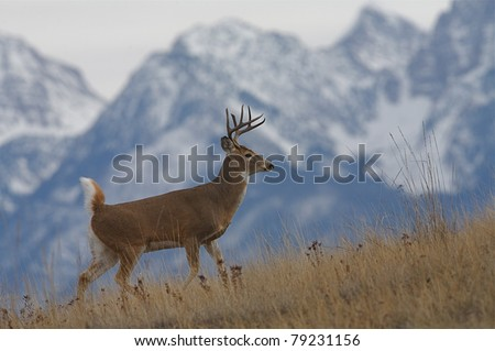 Whitetail Buck Deer walking with snow covered Rocky Mountains in background