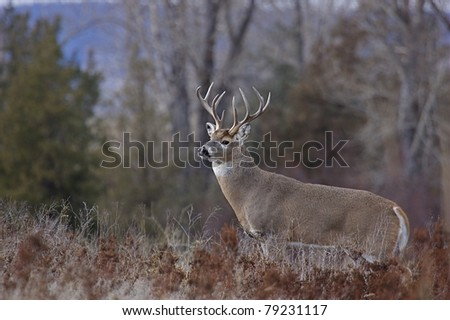 Whitetail Buck Deer with nontypical antlers in autumn habitat