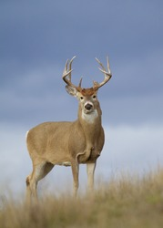 Whitetail Buck Deer with trophy class antlers against a blue sky in grassland prairie and agricultural field habitat during hunting season