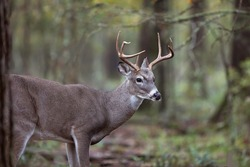 Whitetail Buck Deer, Woods Early Fall