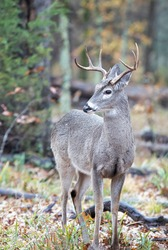 Whitetail Buck Deer, Woods, Light Rain