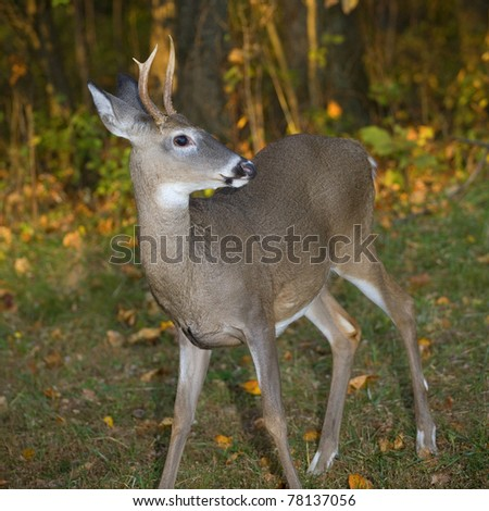 Whitetail buck near the edge of an autumn forest #78137056