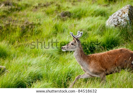 whitetail buck portrait, curiously grazing in the high grass - stock photo
