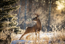 Whitetail buck poses in the morning light during golden hour.