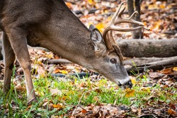 Whitetail buck smelling the ground during the rut.