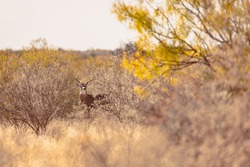 Whitetail buck through the brush in South Texas