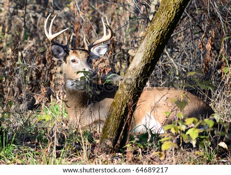 Whitetail deer buck bedded down in the woods.
