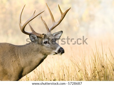 Whitetail deer buck close-up head shot.