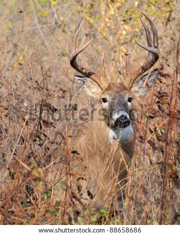 Whitetail Deer Buck closeup standing in a field.
