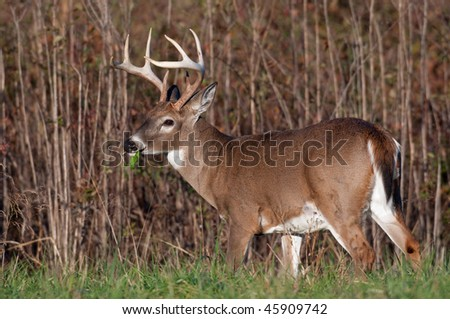Whitetail deer buck feeding on the edge of an open meadow