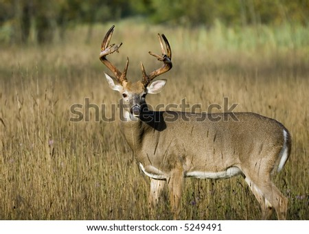 Whitetail deer buck in a meadow. - stock photo