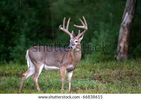 Whitetail deer buck in spring with velvet antlers