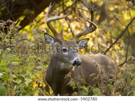 Whitetail deer buck in the woods.