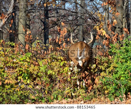 Whitetail Deer Buck running away from the camera at the edge of a woods during the fall rutting season.