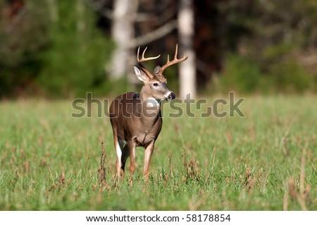 Whitetail deer buck standing in an open meadow