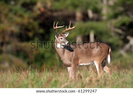 Whitetail deer buck standing in an open meadow