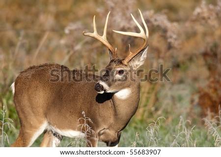 Whitetail deer buck walking through frosty field