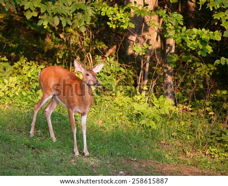 Whitetail deer doe all alone at the edge of a forest
