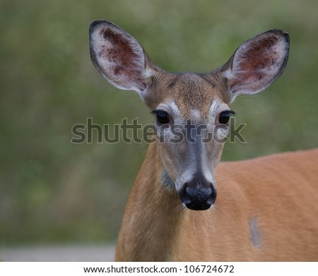 Whitetail Deer Doe in Shenandoah National park, Virginia