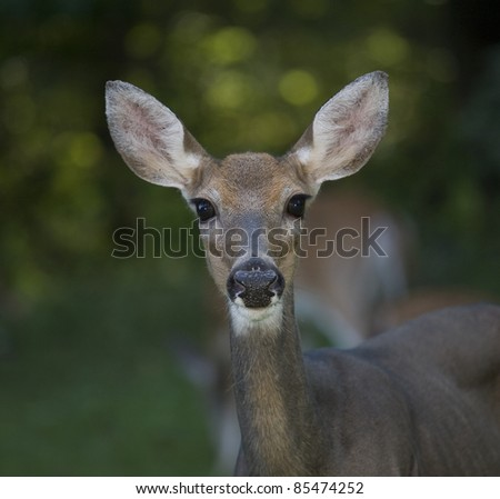 Whitetail deer doe looking right at the camera as the flash went off
