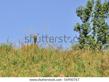 Whitetail deer doe standing on a grassy hill against a blue sky.