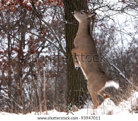 whitetail deer doe standing on hind legs, trying to eat oak leaves.  Winter in Wisconsin