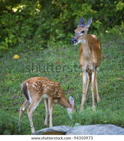 Whitetail deer doe that looks like it is talking to a fawn