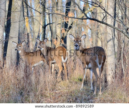 Whitetail Deer Doe with yearlings standing in a woods.