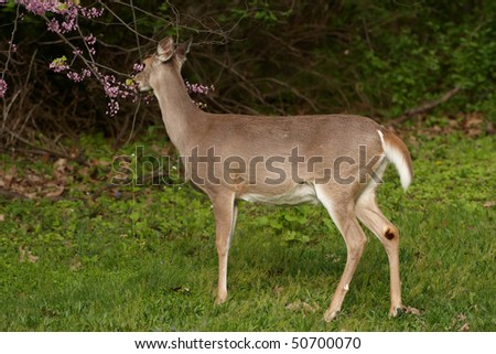 Whitetail deer eating blossoms