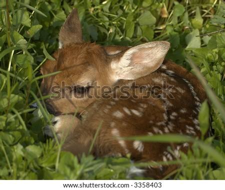 Whitetail deer fawn.
