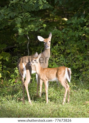 whitetail deer fawn close to a doe