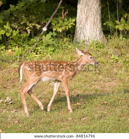 Whitetail deer fawn near a forest that is walking on grass